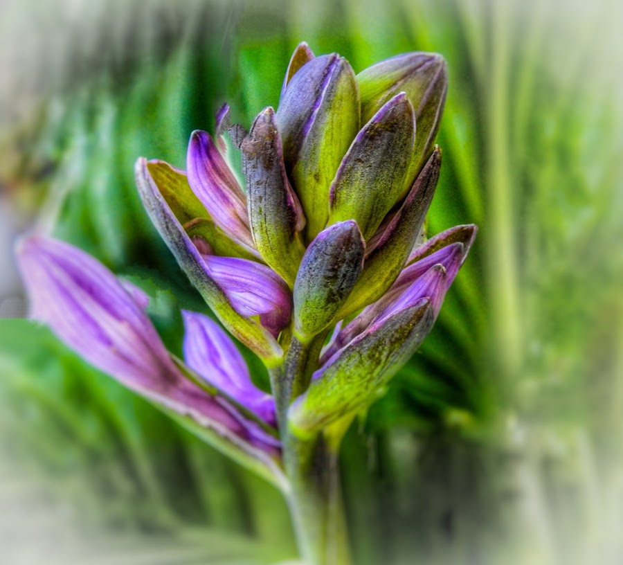 Hasta Buds by Patricia Phillips - Flowers Flower Buds ( flowers buds hastas purple perennials )