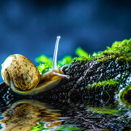 Up by Jorge Figueroa Arce - Animals Other ( water, reflection, macro, snail )