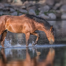 by Daryl Nickelson - Animals Horses (  )