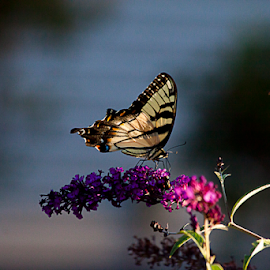 Eastern Tiger Swallowtail by Susan Farris - Animals Insects & Spiders ( butterfly, bug, yellow, insect, swallowtail, animal )