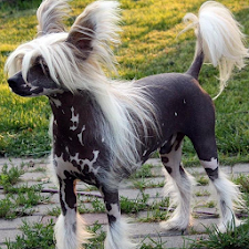 Chinese Crested Dog Puzzle