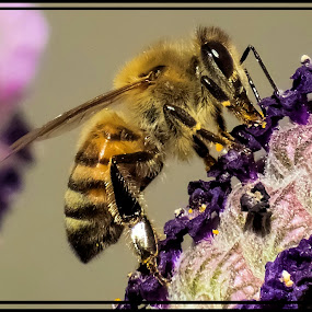 Bee by Danny Bruza - Animals Insects & Spiders
