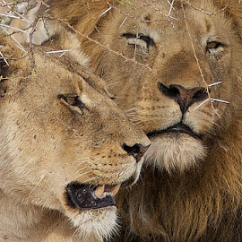 Him and her by Pier Riccardo Vanni - Animals Lions, Tigers & Big Cats