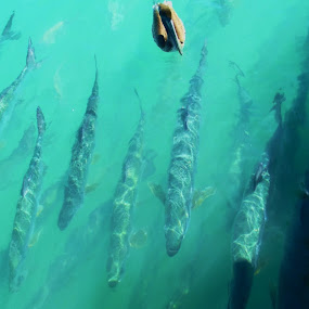 Tarpon by Sean Kushmick - Novices Only Wildlife