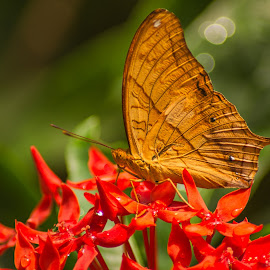 Feeding Time by Keith Walmsley - Animals Insects & Spiders ( wild, butterfly, red, nature, wings, brown, flowers, insect, natural )