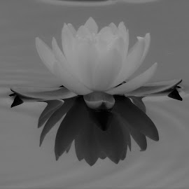 B&W WATER LILY by Laura Cummings - Black & White Flowers & Plants ( b&w water lily )