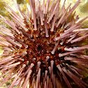 Purple sea urchin. Erizo de mar rosa