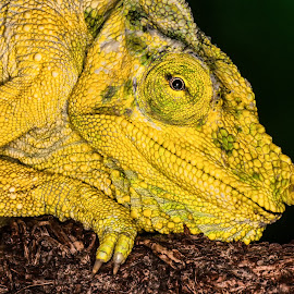 Chameleon by Gloria Matyszyk - Animals Amphibians