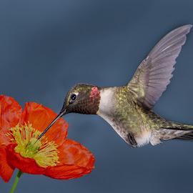 by Larry Pinkerton - Animals Birds ( bird, flying, wildlife, humming, flower, animal )