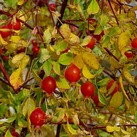 by Nick Swan - Nature Up Close Other Natural Objects ( red, nature, autumn )