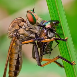 Deadly Suck... by Vincent Sinaga - Animals Insects & Spiders ( hunter, deadly insect, insect, animal, robberfly )