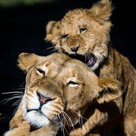 Rawr by Peter Hutchison - Animals Lions, Tigers & Big Cats ( lion, cub )