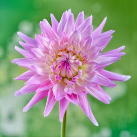 Purple Dahlia Flower by Jim Downey - Flowers Single Flower ( green, dahlia, spiked, purple, petals )