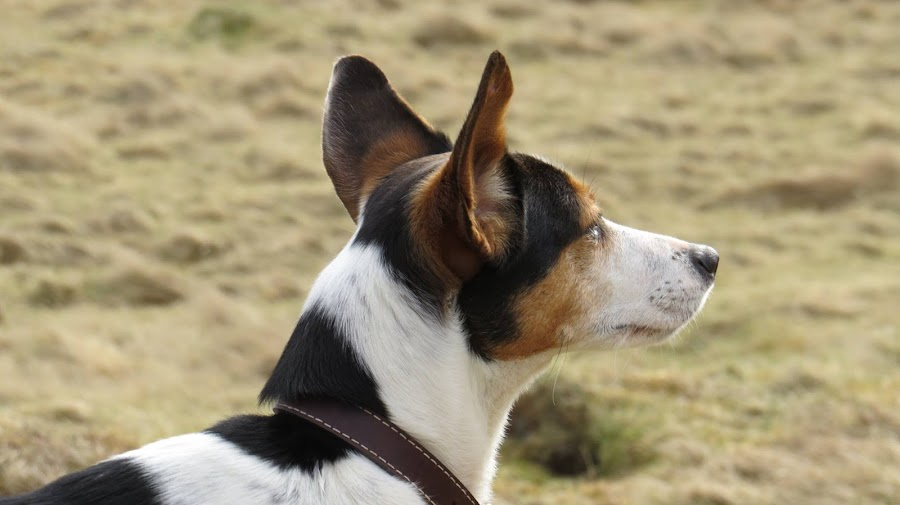 I can hear the wind by Janet Matthews - Animals - Dogs Portraits (  )
