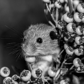 Mouse by Garry Chisholm - Black & White Animals ( mouse, berry, nature, rodent, berries, mice )
