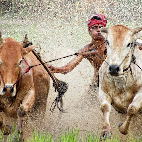 Bull Race by Ari Wid - News & Events Sports ( indonesia, cow, west sumatra, pacu jawi, bull, race )