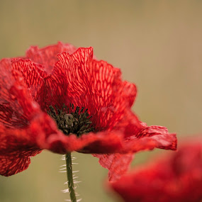 Lady in Red by Peter Rollings - Flowers Flowers in the Wild ( wild, red, poppy, flower,  )