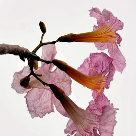 blossoms in pastel color by Govindarajan Raghavan - Flowers Tree Blossoms