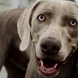 Grey Ghost by Barbara Brock - Animals - Dogs Portraits ( pet, dog eyes, beautiful dog, happy dog, dog, weimeraner, grey dog )