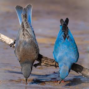 Bottoms Up by Susan and Arwinder Nagi - Animals Birds ( birds animals wildllife nature bluebirds birding,  )