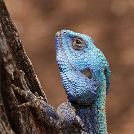 Blue headed agama by Johann Harmse - Animals Reptiles ( nature, blue headed agama, reptile, agama, portrait )
