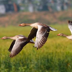 Grey lag Goose by Zahoor Salmi - Animals Birds ( animals, nature, wildlife, zahoorsalmi, birds )