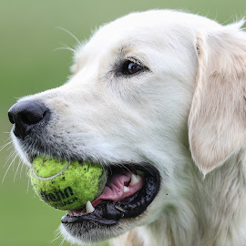 Ball by Peter Marzano - Animals - Dogs Playing