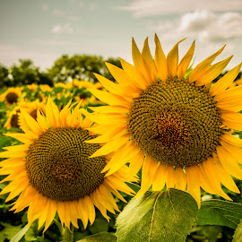 by Teresa Husman - Flowers Flower Gardens ( sunflowers, kansas )
