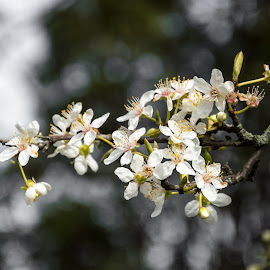 Spring is Finely Here by Keith Sutherland - Flowers Tree Blossoms