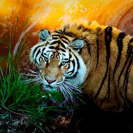 ... by Daniel Gaudin - Animals Lions, Tigers & Big Cats ( nature, tiger, feline, portrait, animal )