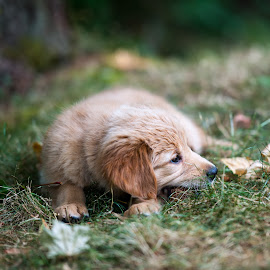 Tesla resting in yard by Greg Varney - Animals - Dogs Puppies ( residence, grass, tesla, puppy, 8 weeks )