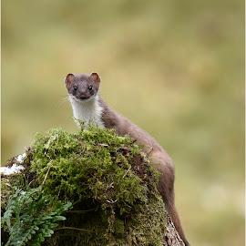 Wild Stoat by Ita Martin - Animals Other Mammals ( wild stoat )