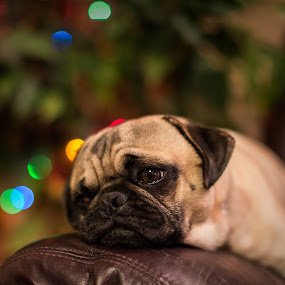Christmas Inspector by Bill Killillay - Animals - Dogs Portraits ( canon, dogs, lazy dog, christmas, bujo, sleeping, dog, pug )