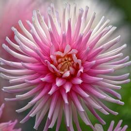 Dahlia I by Raphael RaCcoon - Flowers Single Flower