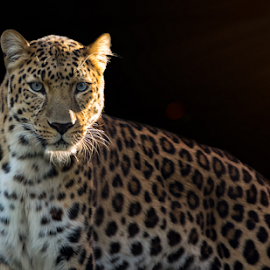 Shadow Warrior by Mauritz Janeke - Animals Lions, Tigers & Big Cats ( big cat, pantera, abudhabi, mauritz, magic hour, abu dhabi, sunlight, leopard, eyes )