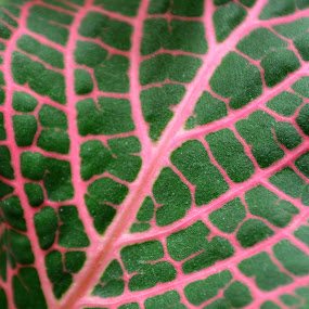 Arterial? by Kristina Weber - Abstract Patterns ( plant, nature, pink-veined, pwclines, fittonia )