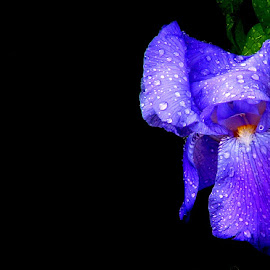 by Jim Massey - Novices Only Flowers & Plants ( blue, iris,  )