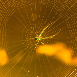 Orange Spider Web by Luke Albright - Animals Insects & Spiders