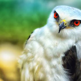 Elang by Dimas N - Animals Birds