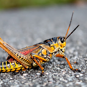 Sidewalk Grasshopper by Bill Bettilyon - Animals Insects & Spiders ( insect, grasshopper, georgia thumper )