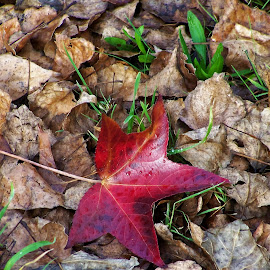 Autumn Leaf by Sarah Harding - Novices Only Objects & Still Life ( plant, nature, outdoors, novices only, leaf )