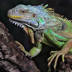 Grüne Leguan - Iguana iguana - Leguan - Iguanidae 3882.jpg