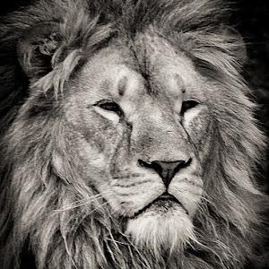 LionBW.jpg