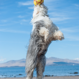 pure joy   by Michael  M Sweeney - Animals - Dogs Playing ( d3, happy, joy, old english sheepdog, play, beach, michael m sweeney, dog, nikon )