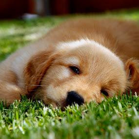 Golden by Cristobal Garciaferro Rubio - Animals - Dogs Puppies ( play, golden, golden light )