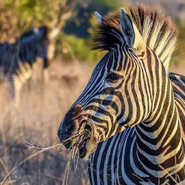 Zebra in the light by Laura Chapple - Animals Other Mammals ( almostahorse, blackandwhite, southafrica, zebra, kruger,  )