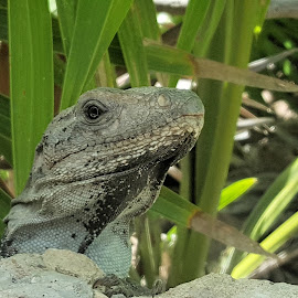 Iguana See You by Jesse Thrush - Instagram & Mobile Android ( lizard, mexico, green, iguana, reptile )