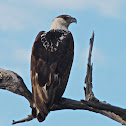 African Fish Eagle (sub adult)