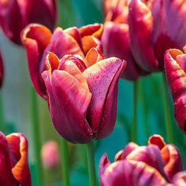 Tulips by Darren Sutherland - Flowers Flower Gardens