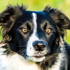 The Attentive Collie by Sue Lascelles - Animals - Dogs Portraits